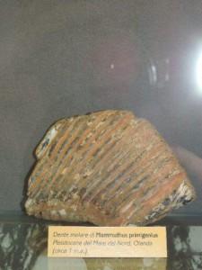 Dente molare fossile di mammuth